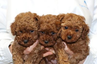 トイプードルレッドの子犬オス1頭メス2頭、生後5週間画像