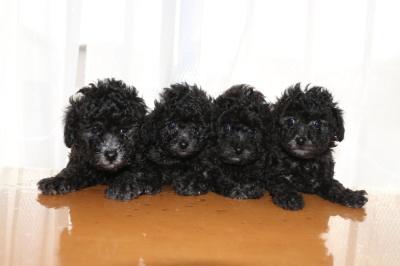 トイプードルシルバー(グレー)の子犬オス1頭メス3頭、生後6週間画像