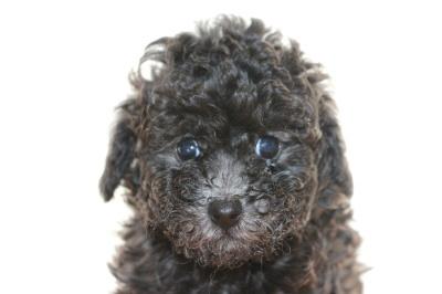トイプードルシルバー(グレー)の子犬オス、生後6週間画像