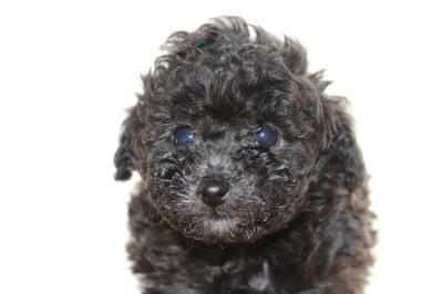 ティーカッププードルシルバー(グレー)の子犬メス、生後6週間画像