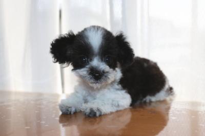 ティーカッププードルサイズのトイプードル白黒パーティーカラーの子犬メス、生後2ヶ月半画像