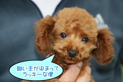 タイニーサイズのトイプードルレッドの子犬オス、生後3ヶ月画像