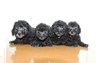 トイプードルシルバー(グレー)の子犬オス1頭メス3頭、生後7週間画像