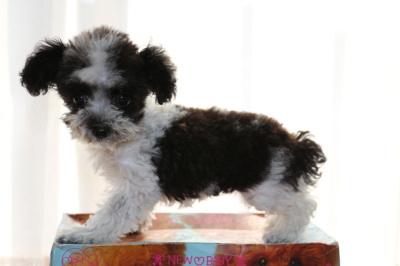 ティーカッププードル白黒パーティーの子犬メス、生後3ヶ月画像