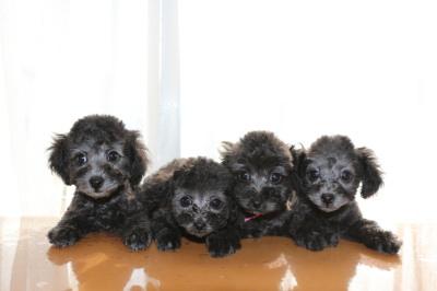 トイプードルシルバー(グレー)の子犬オス1頭メス3頭、生後2ヶ月画像