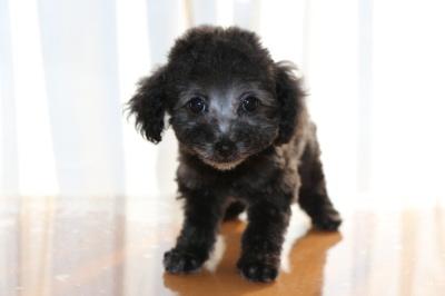 ティーカッププードルシルバーの子犬メス、生後2ヶ月画像