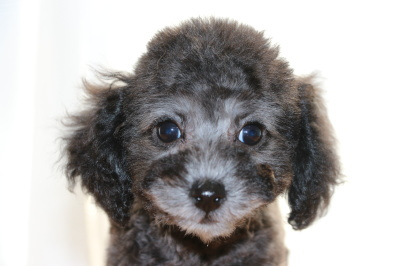 トイプードルシルバー(グレー)の子犬オス、生後2ヶ月画像