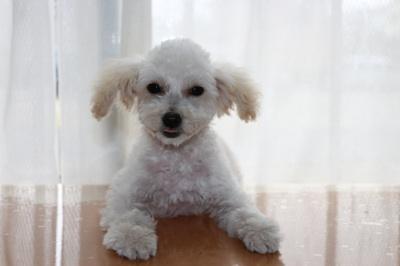 トイプードルホワイト(白色)の子犬メス、生後4ヶ月画像
