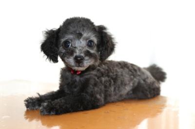 トイプードルシルバー(グレー)の子犬メス、生後2ヶ月画像