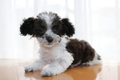 ティーカッププードルパーティーカラーの子犬メス、生後3ヶ月半画像