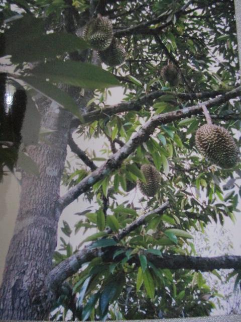 ドリアンの木