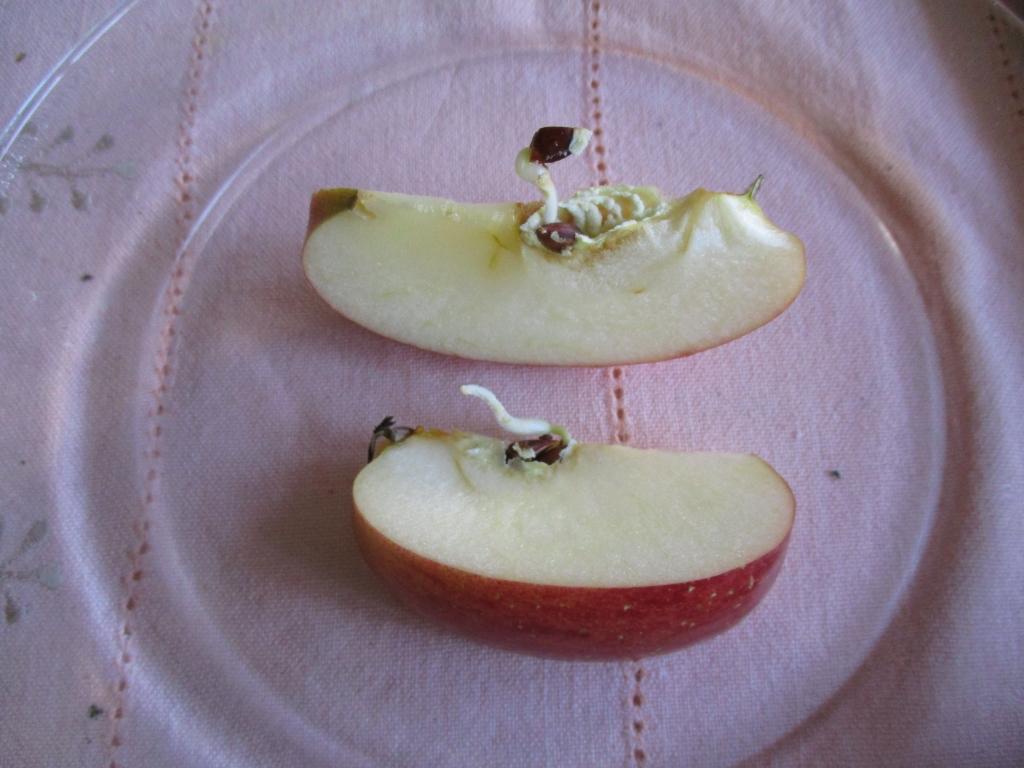 リンゴ内芽