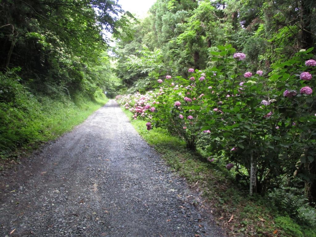 紫陽花山道