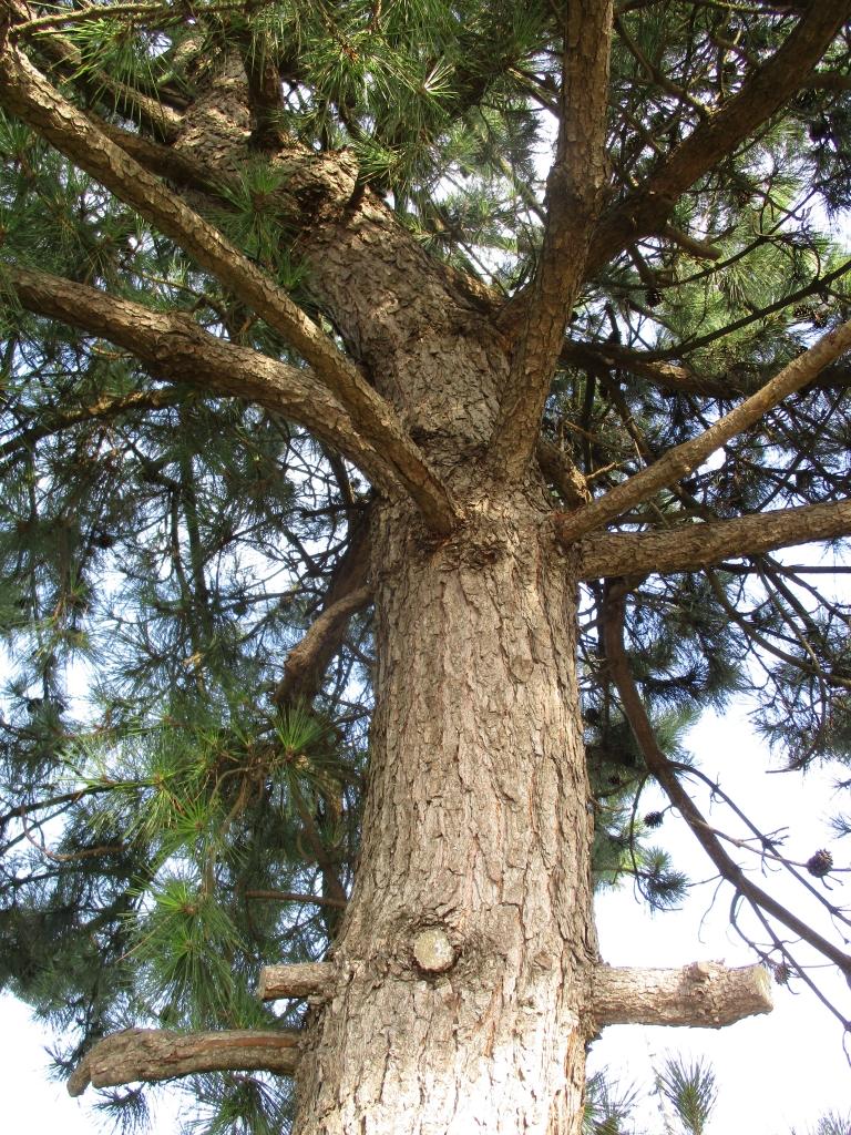木登りしたい松枝