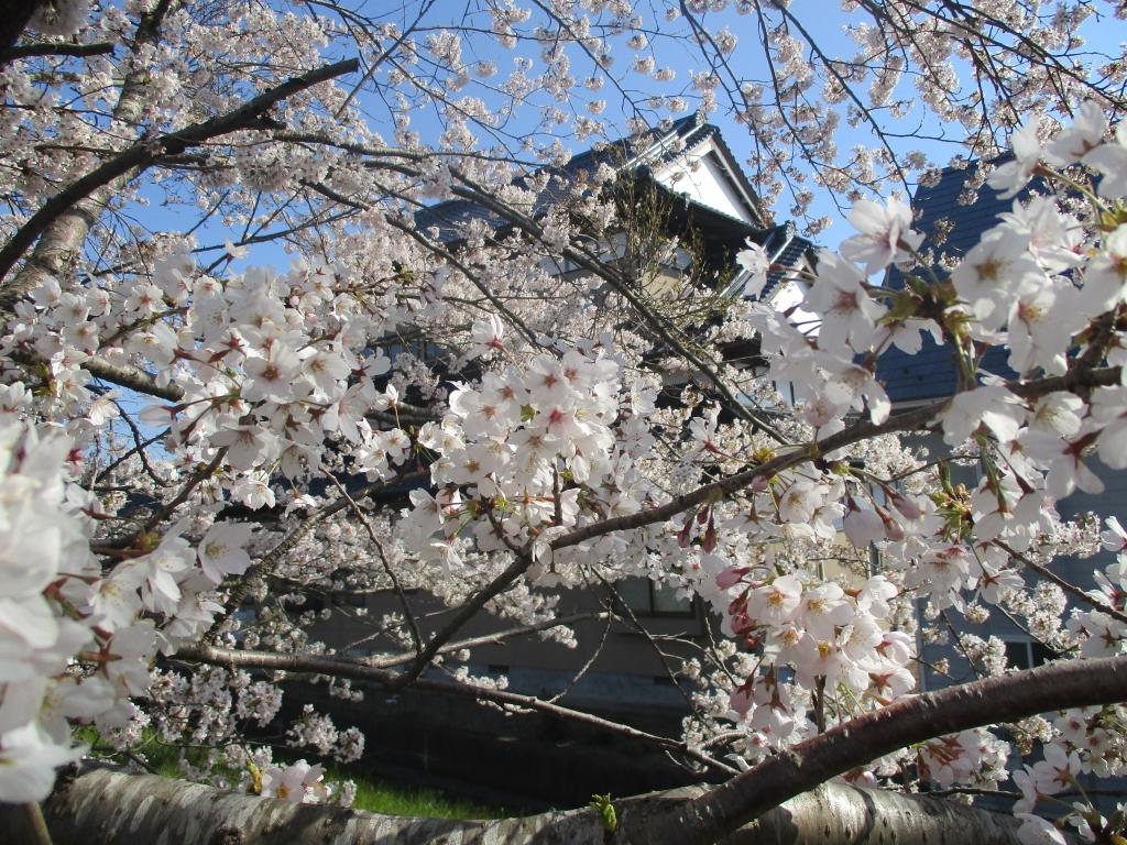 満開桜と民家城