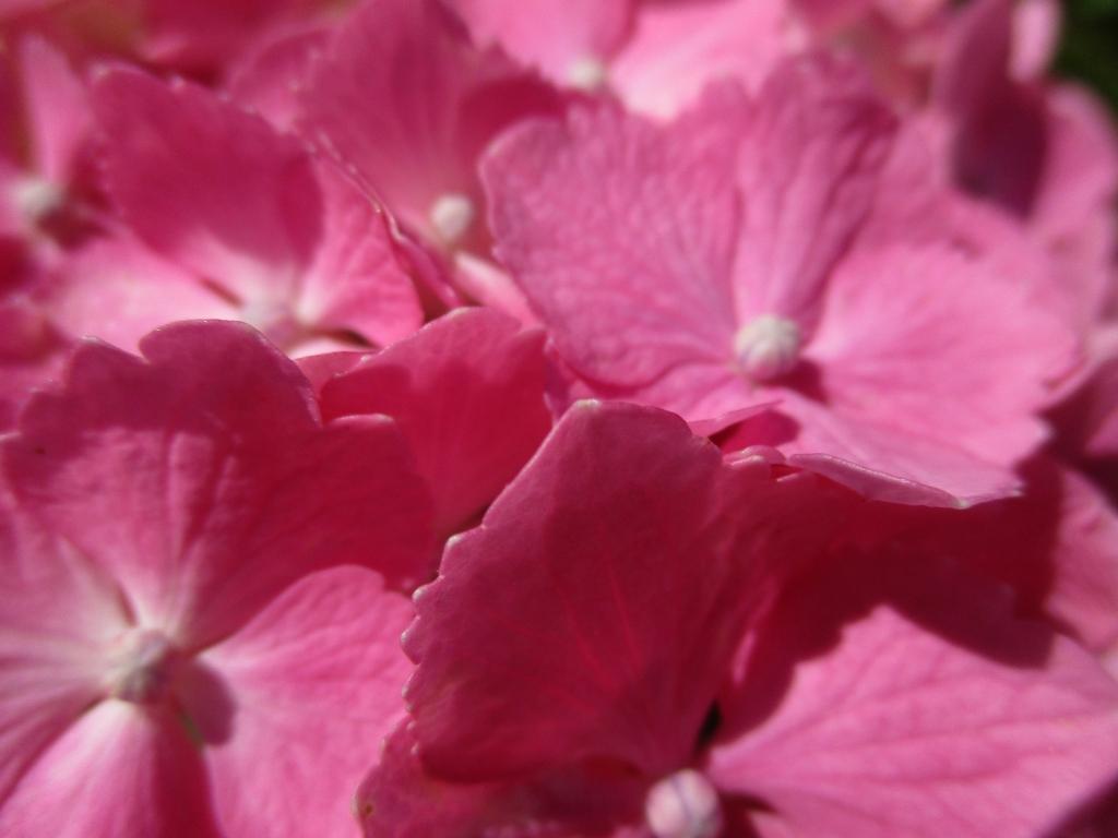 紅ピンクアジサイ