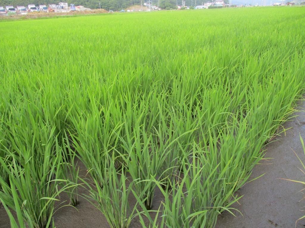 稲の生育順調