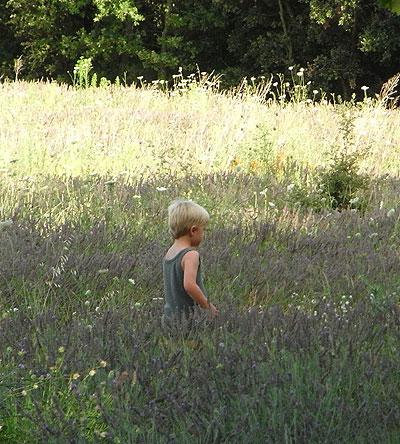 ラヴェンダー畑、ドローム地方
