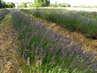 ラヴェンダー畑、ドローム地方2