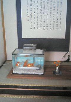 床の間金魚