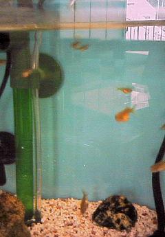 赤ちゃん金魚