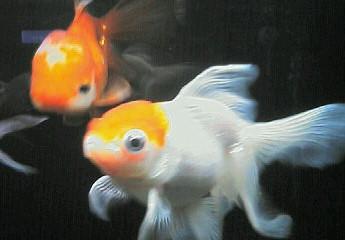 親金魚 丹頂
