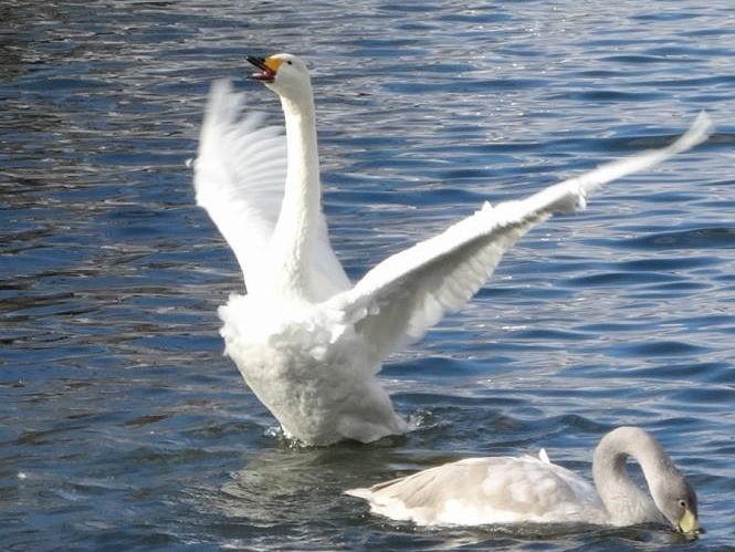 羽ばたく白鳥