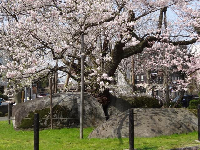 石割り桜2018