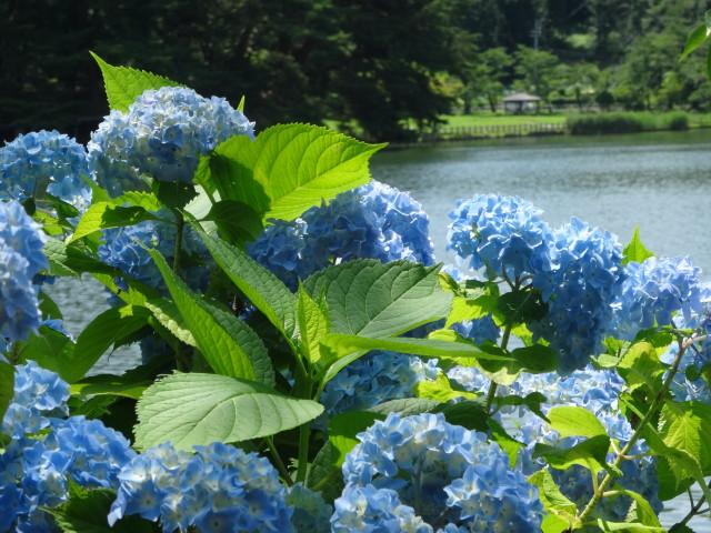紫陽花高松の池