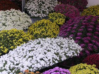 縮景園の菊花展示