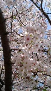 中比恵公園の桜
