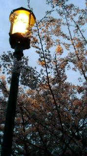 行灯の下の桜