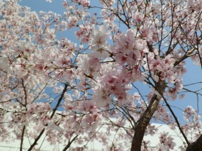 7分咲きのさくら