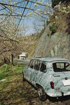 今年は梅が早かったが、その後冷え込んで、桜は平年並みかな?梅の下にて。