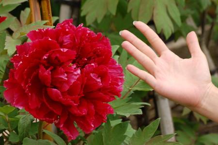 相方の手と牡丹