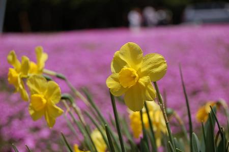 国田家の芝桜と水仙