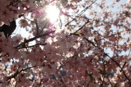 高山市街桜