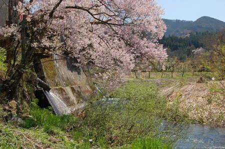 花びら散る河原