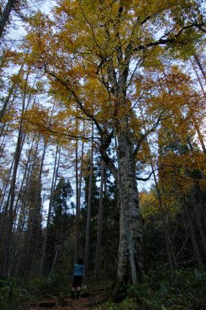 ブナの大木1