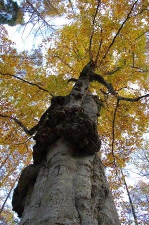 ブナの大木2
