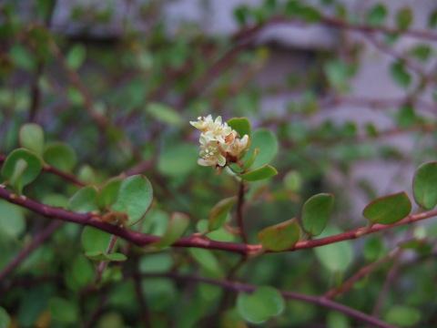 ワイヤープランツ花