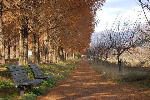 メタセコイア並木2