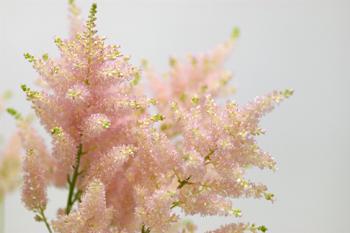 アスチルベ・アメリカ(ピンク)2