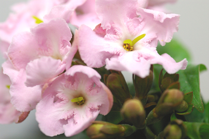 ルクリア(匂い桜)