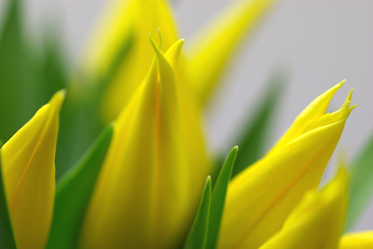 チューリップ・サッポロ(百合咲き)