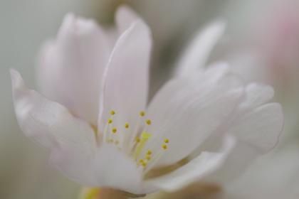 さくら・彼岸桜