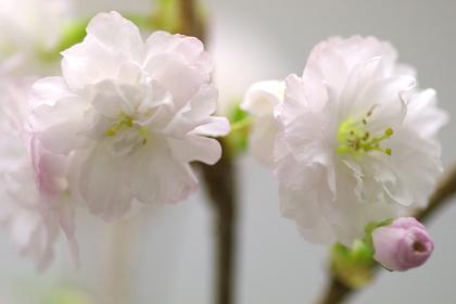 桜・加茂の曙