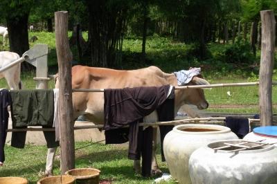 パンツを被った牛さん!