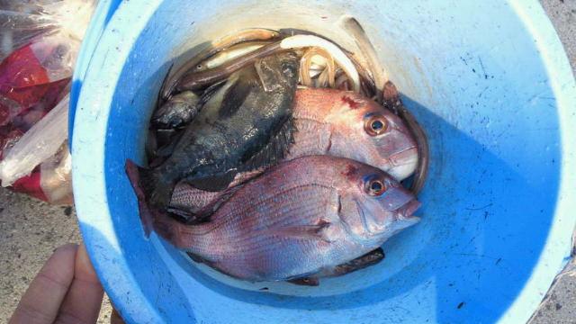 一本釣りで釣った鯛やメバル