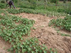 Nyange 苗木の引き抜き作業